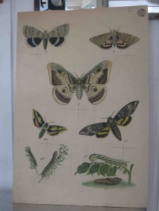 early butterfly chart